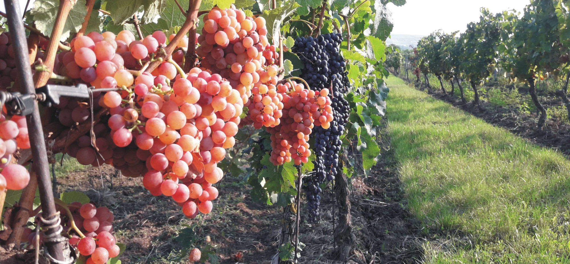 Víno2019-1